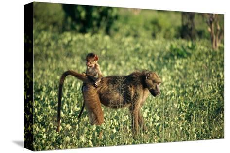 Baboon Carrying Youth-Beverly Joubert-Stretched Canvas Print