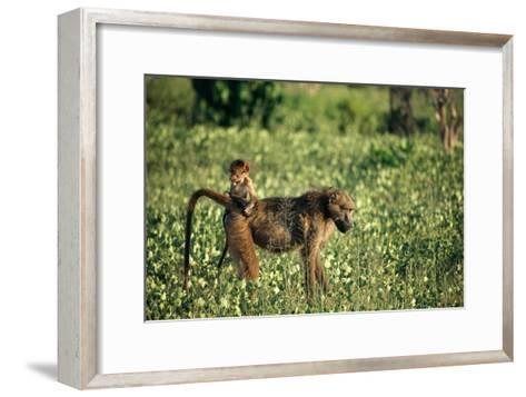 Baboon Carrying Youth-Beverly Joubert-Framed Art Print