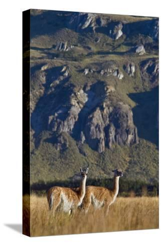 Guanacos Graze and Roam in the Steppe of the Chacabuco Valley-Beth Wald-Stretched Canvas Print