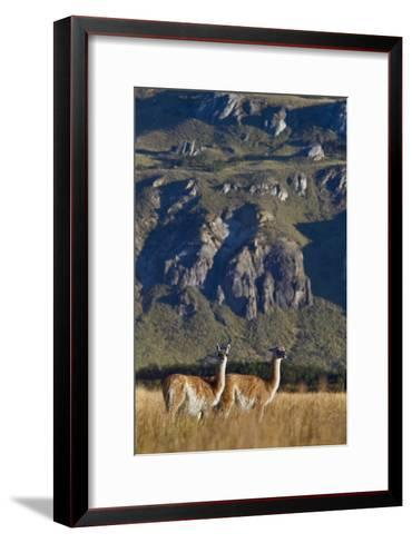 Guanacos Graze and Roam in the Steppe of the Chacabuco Valley-Beth Wald-Framed Art Print