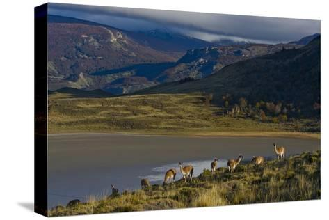 Guanacos Graze and Roam in the Grasslands of the Chacabuco Valley-Beth Wald-Stretched Canvas Print