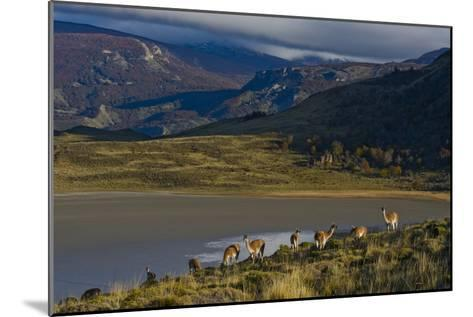Guanacos Graze and Roam in the Grasslands of the Chacabuco Valley-Beth Wald-Mounted Photographic Print