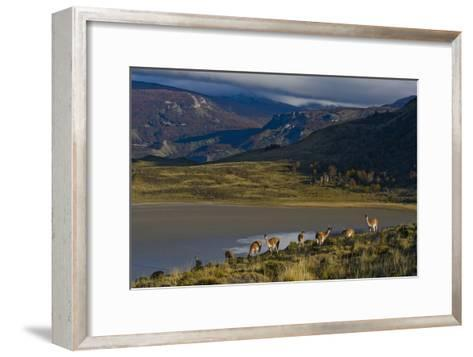 Guanacos Graze and Roam in the Grasslands of the Chacabuco Valley-Beth Wald-Framed Art Print