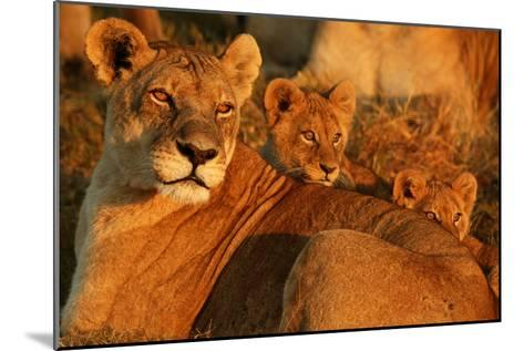 African Lioness, Panthera Leo, and Her Cubs Resting-Beverly Joubert-Mounted Photographic Print