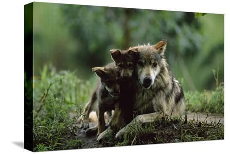 Pups of Captive Mexican Gray Wolves-Joel Sartore-Stretched Canvas Print