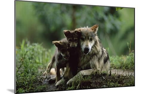 Pups of Captive Mexican Gray Wolves-Joel Sartore-Mounted Photographic Print
