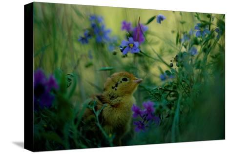 attwater's Prairie Chicken, Young Chick in Flower-Joel Sartore-Stretched Canvas Print