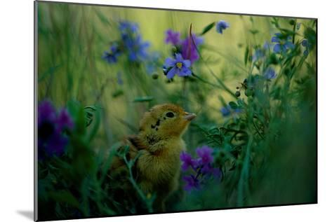 attwater's Prairie Chicken, Young Chick in Flower-Joel Sartore-Mounted Photographic Print