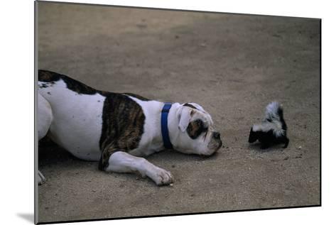 A Bulldog and a Striped Skunk (Mephitis Mephitit) Meet Eye to Eye-Joel Sartore-Mounted Photographic Print