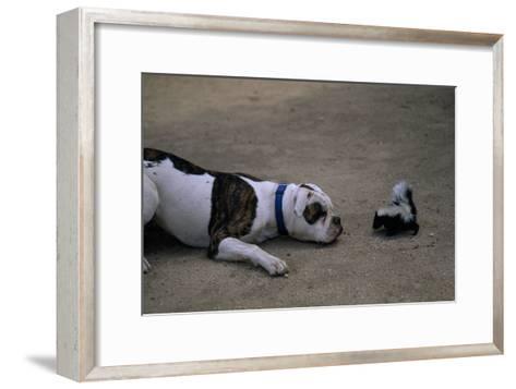 A Bulldog and a Striped Skunk (Mephitis Mephitit) Meet Eye to Eye-Joel Sartore-Framed Art Print
