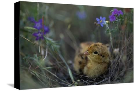 An Attwater's Prairie Chick (Tympanuchus Cupido Attwateri)-Joel Sartore-Stretched Canvas Print