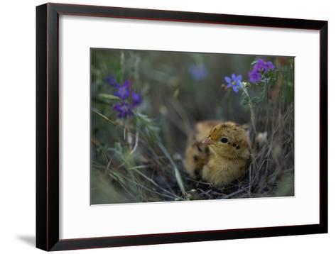 An Attwater's Prairie Chick (Tympanuchus Cupido Attwateri)-Joel Sartore-Framed Art Print