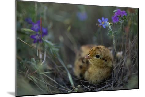 An Attwater's Prairie Chick (Tympanuchus Cupido Attwateri)-Joel Sartore-Mounted Photographic Print