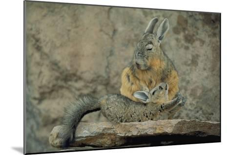 Baby Viscacha in Full Stretch in Front of Its Resting Mother-Joel Sartore-Mounted Photographic Print