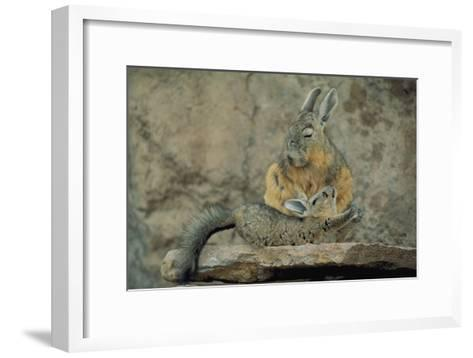 Baby Viscacha in Full Stretch in Front of Its Resting Mother-Joel Sartore-Framed Art Print