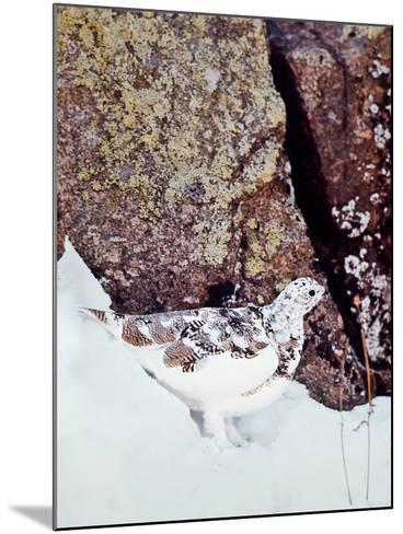 A White-tailed Ptarmigan, Lagopus Leucurus-David Hiser-Mounted Photographic Print