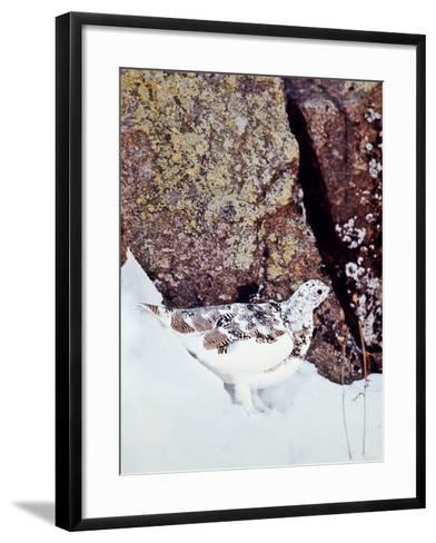 A White-tailed Ptarmigan, Lagopus Leucurus-David Hiser-Framed Art Print