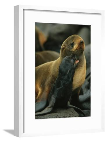 A Northern Fur Seal and Pu-Joel Sartore-Framed Art Print