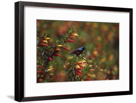 A Red-chested Sunbird, Nectarinia Erythrocerca, Among Flowers-David Pluth-Framed Art Print