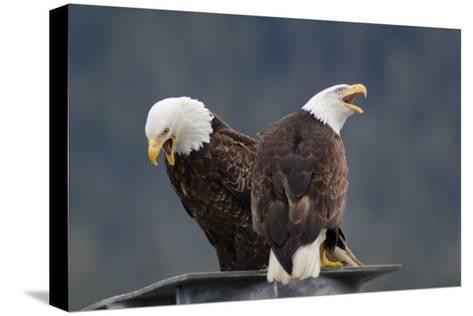 Bald Eagles Perched On a Dock Piling in Juneau Harbor, Calling-Rich Reid-Stretched Canvas Print
