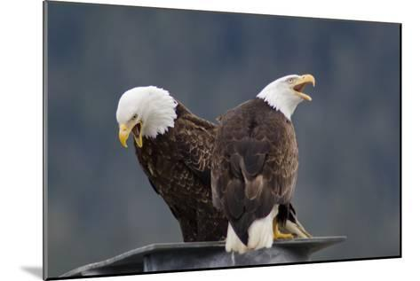 Bald Eagles Perched On a Dock Piling in Juneau Harbor, Calling-Rich Reid-Mounted Photographic Print