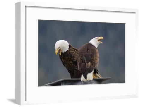 Bald Eagles Perched On a Dock Piling in Juneau Harbor, Calling-Rich Reid-Framed Art Print