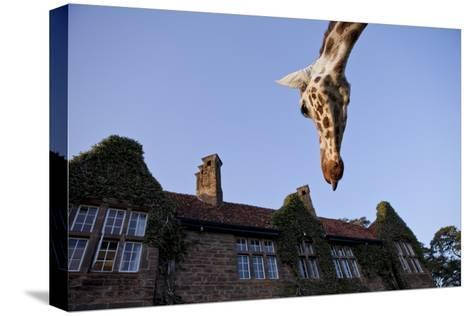 A Rothschild Giraffe Appears to Be Peering Down Upon Giraffe Manor-Robin Moore-Stretched Canvas Print