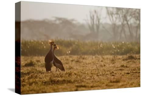 Two Crowned Cranes, Balearica Pavonina, Kissing in Early Morning Mist-Robin Moore-Stretched Canvas Print