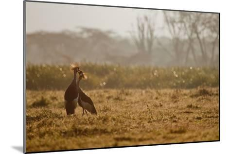 Two Crowned Cranes, Balearica Pavonina, Kissing in Early Morning Mist-Robin Moore-Mounted Photographic Print