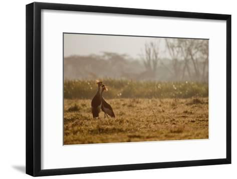 Two Crowned Cranes, Balearica Pavonina, Kissing in Early Morning Mist-Robin Moore-Framed Art Print