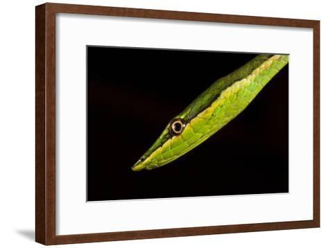 Close Up of a Sharp-nosed Vine Snake, Uromacer Frenatus-Robin Moore-Framed Art Print