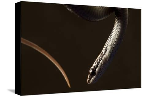 A Hispaniola Lesser Racer Snake, Hypsirhynchus Parvifrons-Robin Moore-Stretched Canvas Print