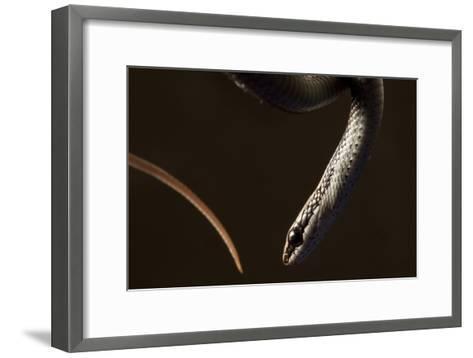A Hispaniola Lesser Racer Snake, Hypsirhynchus Parvifrons-Robin Moore-Framed Art Print