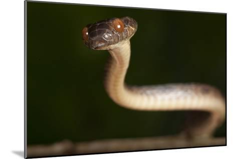A Cat-eyed Snake, Leptodeira Anulata, in the Choco Forests of Colombia-Robin Moore-Mounted Photographic Print