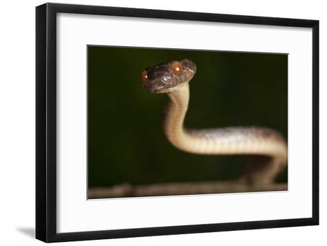 A Cat-eyed Snake, Leptodeira Anulata, in the Choco Forests of Colombia-Robin Moore-Framed Art Print