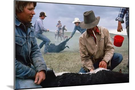 A Cowboy Castrates a Young Calf, While Behind Him Two Others Wrestle a Calf to the Ground.-Sam Abell-Mounted Photographic Print