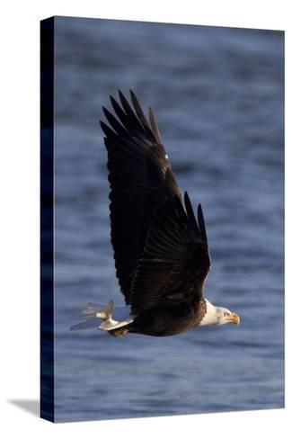 A Bald Eagle Flying with a Fish in It's Talons That It Has Just Caught-Kent Kobersteen-Stretched Canvas Print