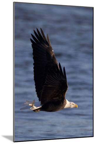 A Bald Eagle Flying with a Fish in It's Talons That It Has Just Caught-Kent Kobersteen-Mounted Photographic Print