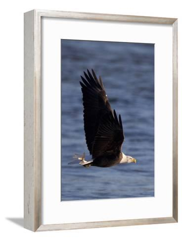 A Bald Eagle Flying with a Fish in It's Talons That It Has Just Caught-Kent Kobersteen-Framed Art Print