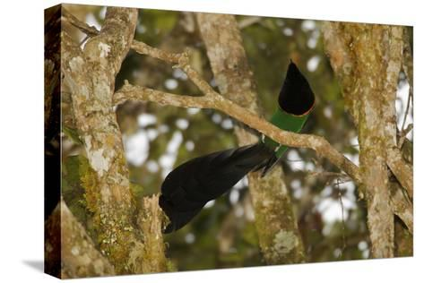 A Male Huon Astrapia Bird of Paradise At a Display Perch-Tim Laman-Stretched Canvas Print