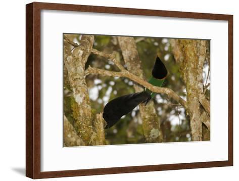 A Male Huon Astrapia Bird of Paradise At a Display Perch-Tim Laman-Framed Art Print