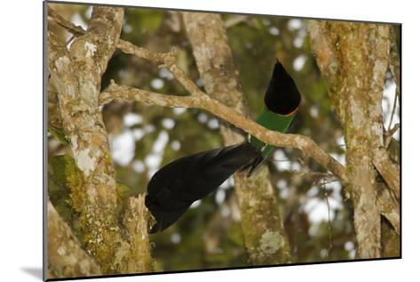 A Male Huon Astrapia Bird of Paradise At a Display Perch-Tim Laman-Mounted Photographic Print