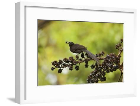 A Female Plumaged Huon Astrapia Bird of Paradise Feeds On Schefflera Fruit-Tim Laman-Framed Art Print