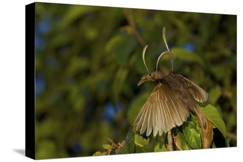 A Male Wallace's Standardwing Bird of Paradise At His Display Site-Tim Laman-Stretched Canvas Print