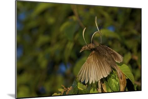 A Male Wallace's Standardwing Bird of Paradise At His Display Site-Tim Laman-Mounted Photographic Print