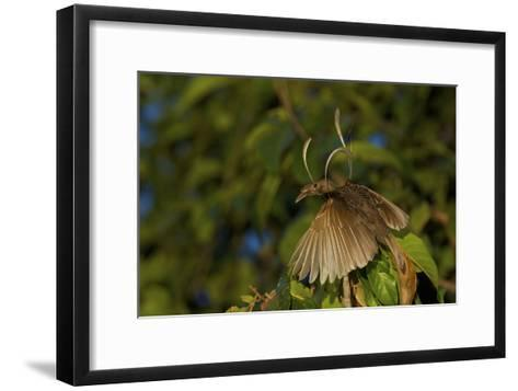 A Male Wallace's Standardwing Bird of Paradise At His Display Site-Tim Laman-Framed Art Print
