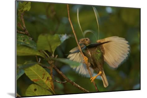 A Male Wallace's Standardwing Bird of Paradise Performs a Display-Tim Laman-Mounted Photographic Print