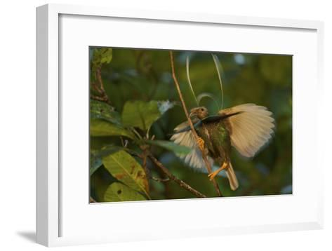 A Male Wallace's Standardwing Bird of Paradise Performs a Display-Tim Laman-Framed Art Print