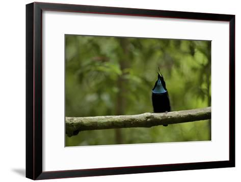 A Male Magnificent Riflebird Calling From His Display Vine-Tim Laman-Framed Art Print