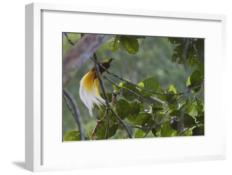 Vogelkopf Peninsula, West Papua, New Guinea, Indonesia-Tim Laman-Framed Art Print